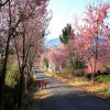 Đà Lạt hoa anh đào đón mùa xuân mới