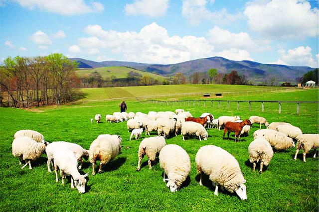Nông trại cừu Long Hải